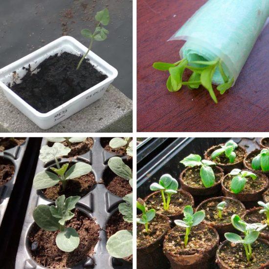 Разнообразие вариантов выращивания рассады арбузов
