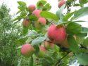 Яблоня сорта Анисовка
