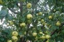 Яблоня сорта Антоновка обыкновенная