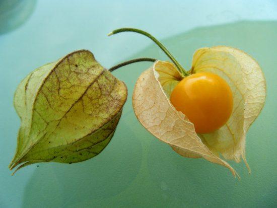 Недозревший и спелый плоды физалиса