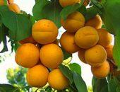 абрикос голдрич