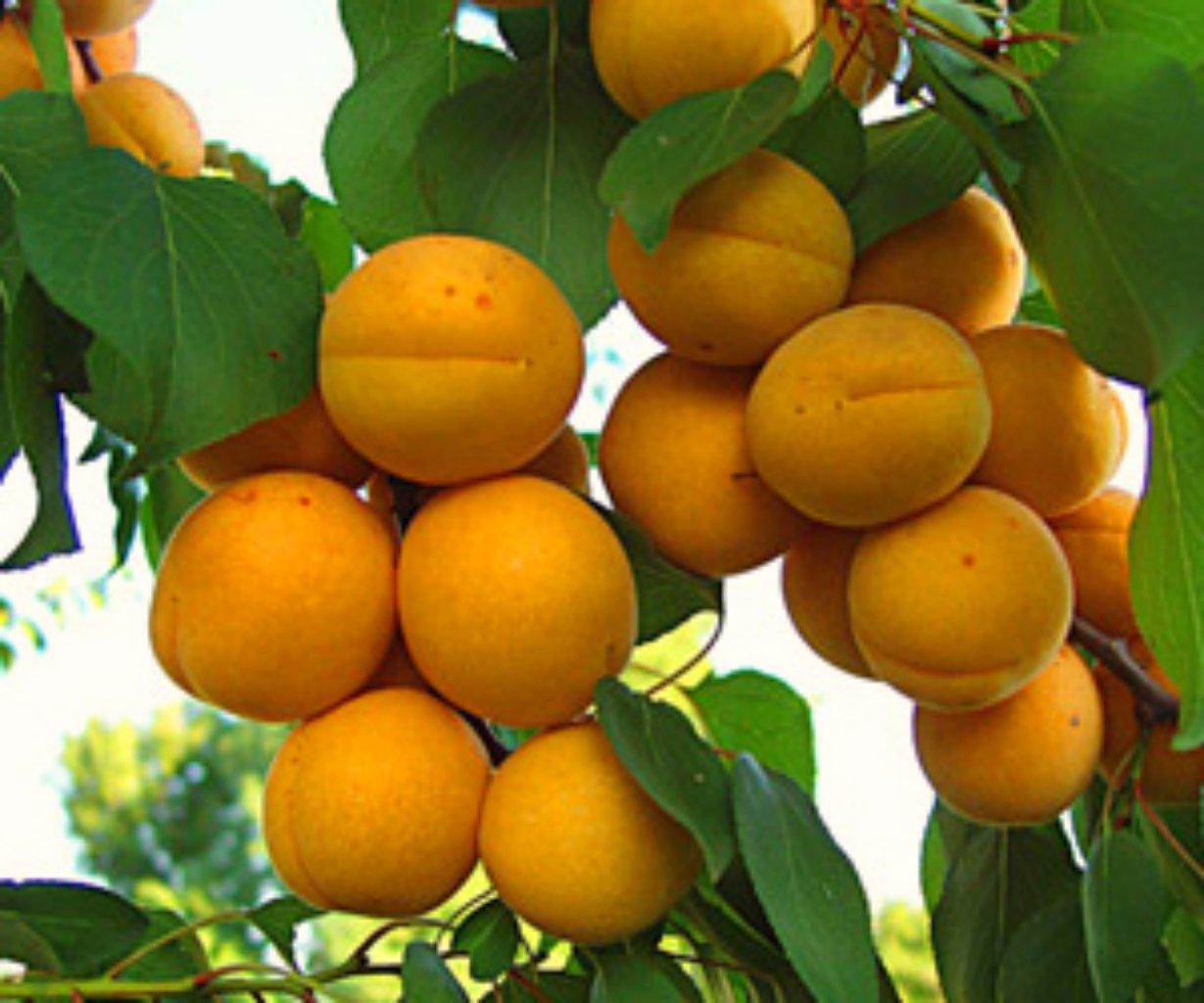 Описание сорта абрикоса Голдрич
