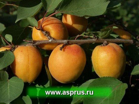 Ягоды абрикоса на ветке