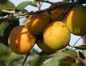 Плоды абрикоса Хабаровский