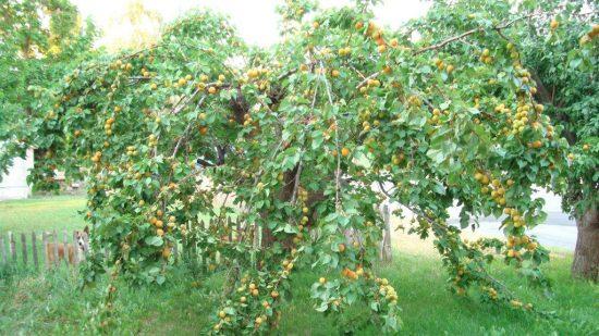 Крона абрикоса
