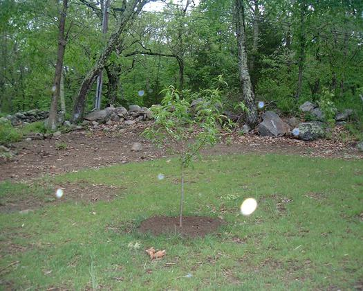 Абрикосовое деревце на поляне