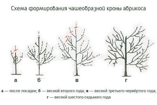 Схема обрезки абрикоса сорта Хабаровский