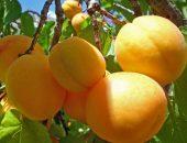 абрикос алёша