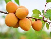Плоды абрикоса Царского на ветке