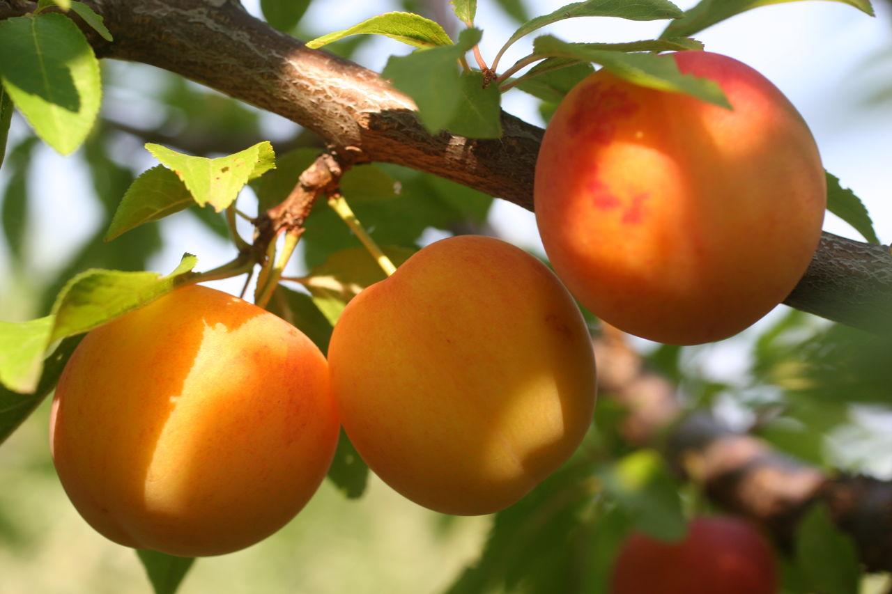 Сорт абрикоса Графиня — редкий, но не последний