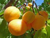 абрикос лель
