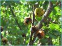 Фузариоз абрикоса