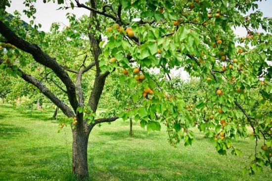Подходящее место для выращивания абрикоса