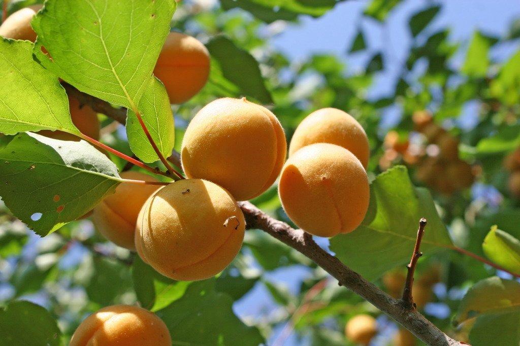 старой фото золотого абрикоса обладательницы
