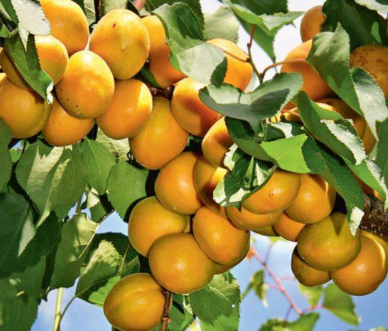 Урожай абрикоса Лель