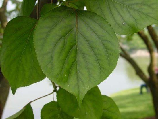 Листья абрикоса Лель