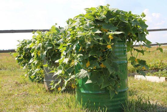 Бочка с овощными растениями