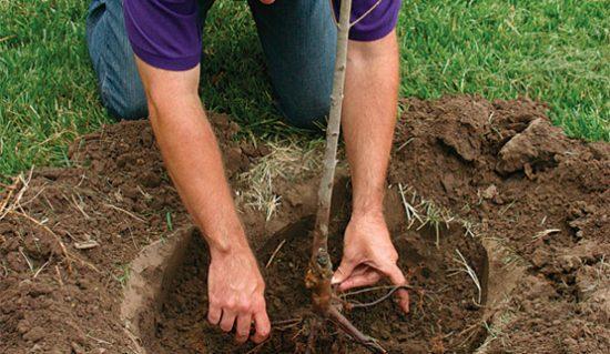 Уплотнение почвы после посадки