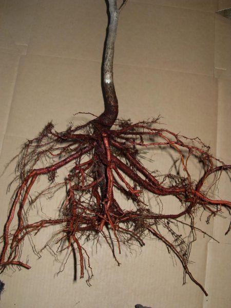 Саженец с хорошими корнями