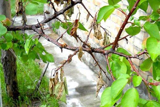 Монилиоз на абрикосовом дереве