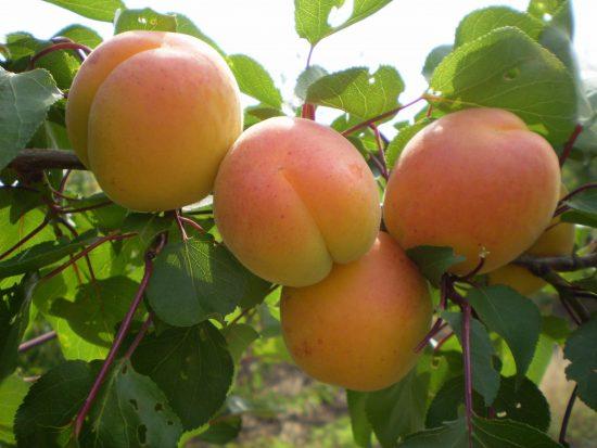 Сорт абрикоса Мелитопольский ранний