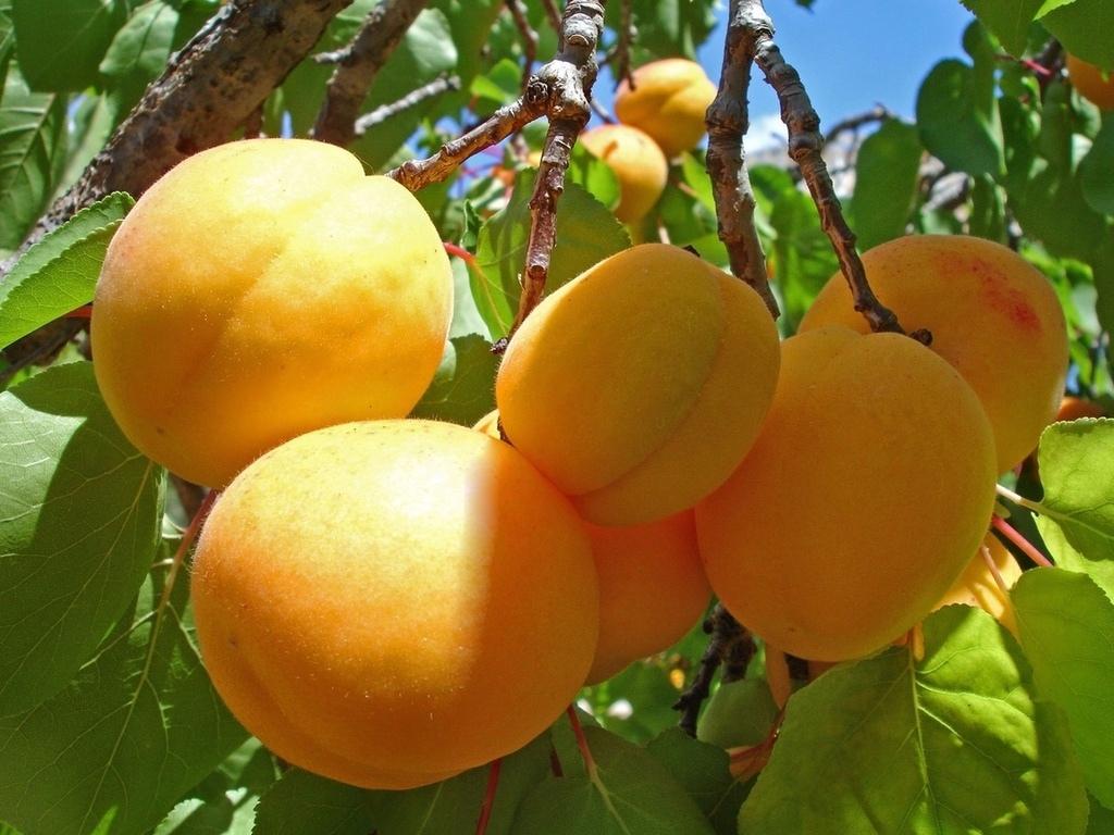 Абрикос Мелитопольский ранний – достойное украшение сада