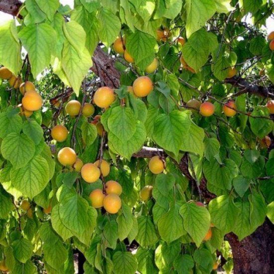 Абрикос царский с плодами