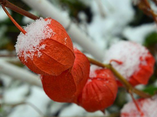 Физалис под снегом