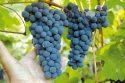 Сорт винограда Амурский прорыв