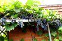 Сорт винограда Альфа