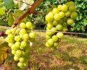 Сорт винограда Юбилейный Новгорода