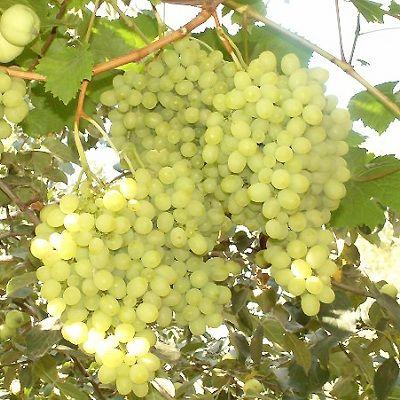 Виноград сорта Алёшенькин дар