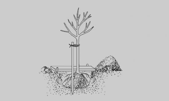 Схема посадки абрикоса Чёрный бархат