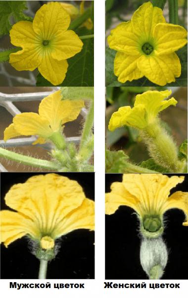 Цветки дыни