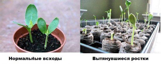 Нормальные всходы дыни и вытянувшиеся ростки