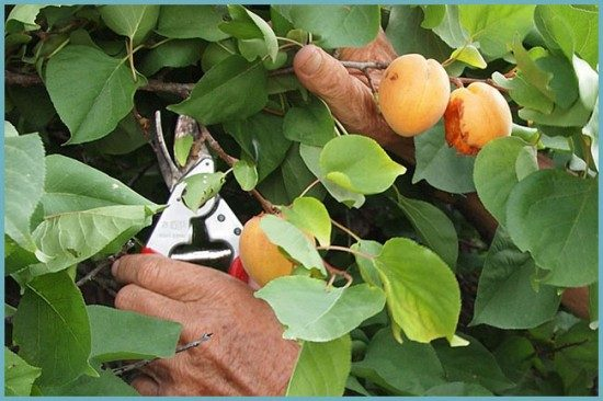 Чеканка молодых побегов абрикоса