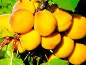 абрикос кичигинский