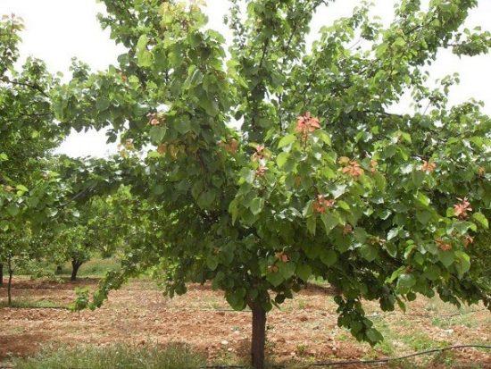 Дерево абрикоса Кичигинский