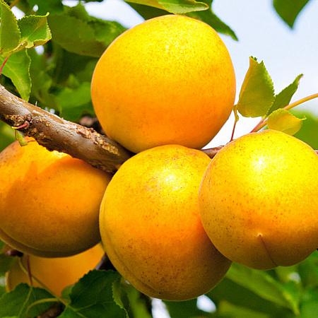 Плоды абрикоса Кичигинский