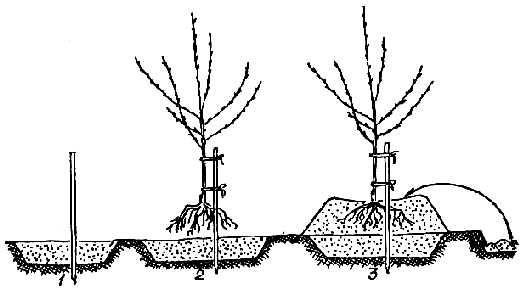 Посадка абрикоса на холмик