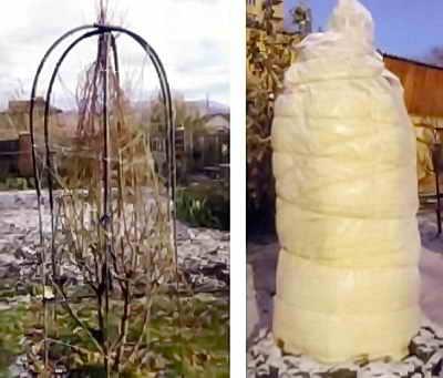 Укрытие молодого абрикоса на зиму