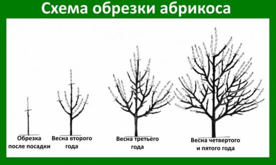 Схема разреженно-ярусной формировки абрикоса