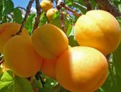 абрикос десертный