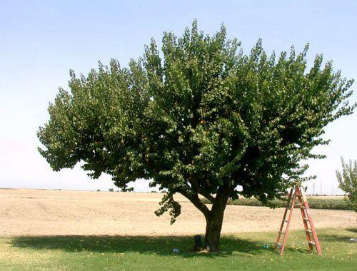 Дерево абрикоса Десертный сильнорослое