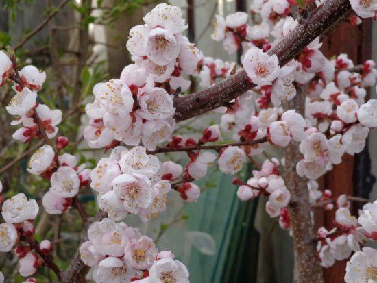 Цветущий абрикос Россиянин