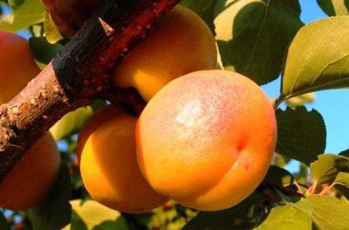 Плоды абрикоса Россиянин