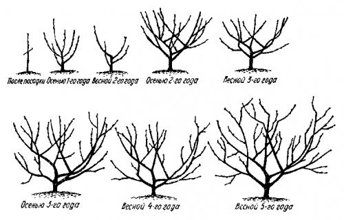 Схема формировки кроны дерева в виде чаши