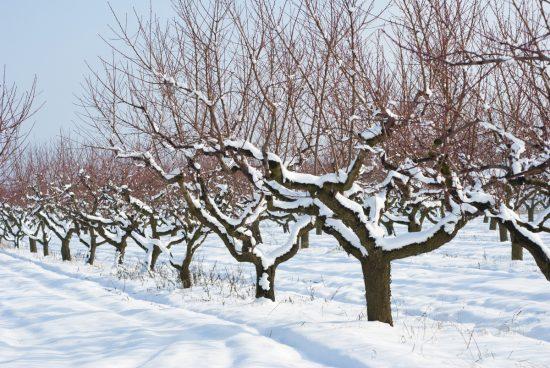 Абрикосовые деревья зимой