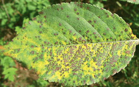 Поражённый коккомикозом лист