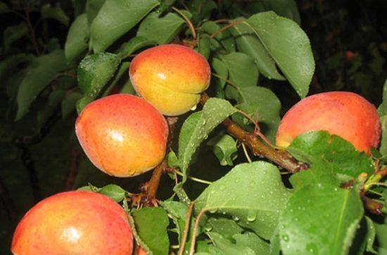 Плоды абрикоса Роксана